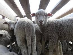patagonia u0027s u0027sustainable wool u0027 supplier lambs skinned alive