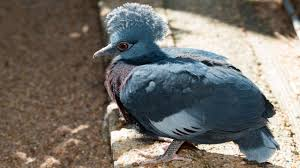 rare victoria crowned pigeon born at houston zoo