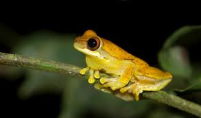 scientists rush to save exotic frogs from spreading disease