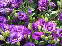 Lisianthus Lisianthus Flower From Israel