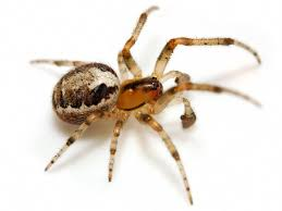 spider myth four spiders falsely accused of harm burke museum