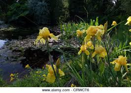water lilies in kew gardens london uk stock photo royalty free