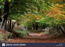 a country lined on both sides with beech trees in fall autumn