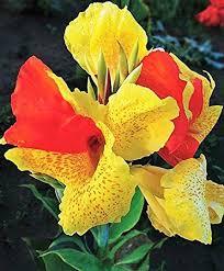 Canna Lilies Amazon Com 2 Dwarf Canna Lily Cleopatra Bulbs Roots Rhizomes