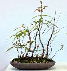 bonsai australian native plants bsv u2013 page 5 u2013 bonsai society of victoria