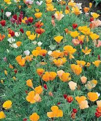 California Poppy California Poppy Seeds Eschscholzia Californica Annual Flower Seeds
