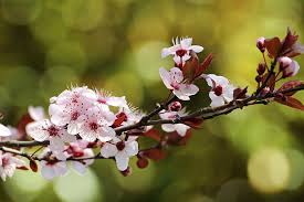 how to grow the purple leaf plum tree