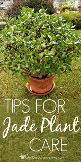 jade plant houseplants are easy to care for succulents and they