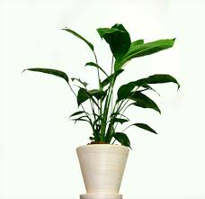 Low Light Indoor Plants by Low Light Plants For Any Room In The House Low Indoor Flowering