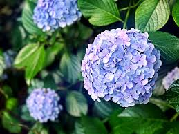 flower hydrangea hydrangea flowers flower rainy free photo on pixabay