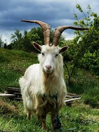 unbooks did you ever lock horns with a goat uncyclopedia