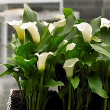 calla bulbs calla white zantedeschia aethiopica bulbs