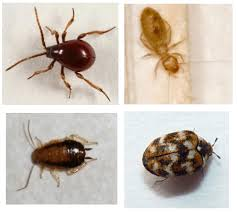How Can I Kill Bed Bugs Don U0027t Panic Bugs That Look Like Bed Bugs Streeteasy