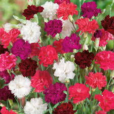 dianthus flower dianthus blooming mixed hardy plants thompson