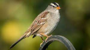 white crowns are sparrows of a different stripe the san diego