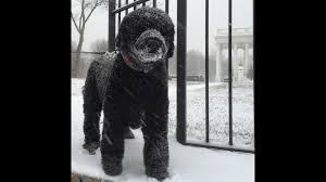bartender resume template australian terrier club of america 160125075005 dc obama dog snow scenes from the field jpg