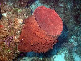 Strawberry Vase Sponge Giant Barrel Sponge Wikipedia