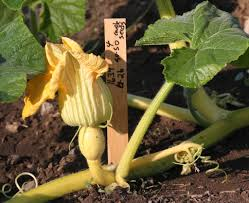 How To Build A Trellis Tips For Next Year U0027s Garden Grow Pumpkins Vertically To Make Them