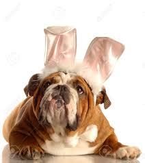 english bulldog halloween costumes costume bulldog stock photos royalty free costume bulldog images