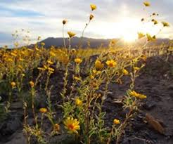 anza borrego wildflowers anza borrego wildflowers super bloom more than just early spring