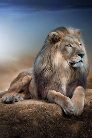 imagenes de leones salvajes gratis imagenes de animales salvajes de africa gratis reino animal