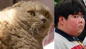 Fat Chinese Boy Meme - cutest scottish fold cat in the world basil farrow cute cats