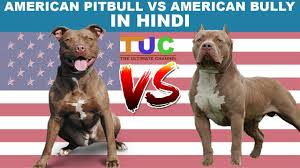 american pitbull terrier in india american pitbull vs american bully in hindi dog comparison the