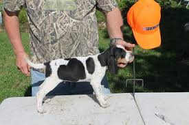 bluetick coonhound puppies near me view ad bluetick coonhound puppy for sale texas college station