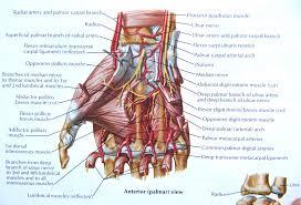 Foot Tendons Anatomy Hand Tendons Anatomy Feet Tendons Amp Ligaments Hands Amp Feet