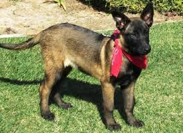 belgian shepherd or malinois mercy service dog doggie do good dog training