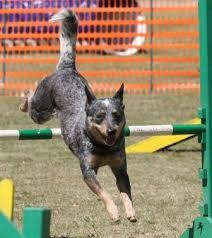 australian shepherd qld australian cattle dog breed information history health pictures