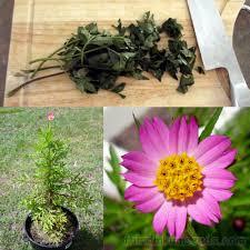 australian native edible plants ulam raja wild edible cosmos caudatus seeds fair dinkum seeds