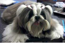 haircuts for shih tzus males shih tzu puppies in indianapolis indiana