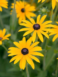 Yellow Brown Best 20 Yellow Daisies Ideas On Pinterest Sunflower Paintings