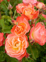 Patio Tree Rose by Shrub Roses Archives Pahl U0027s Market