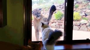 cat doors for glass doors watch house cat tease mountain lion from behind glass nbc news