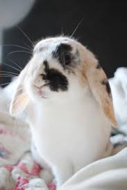 like a bunny small friendly eva the house bunny why rabbits make great pets