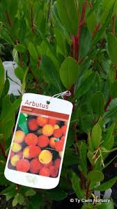 arbutus unedo compacta the strawberry tree ty cwm