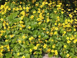 plante vivace soleil des plantes couvre sols pour l u0027ombre u2013 jardinier paresseux