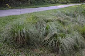 prairie dropseed sporobolus a durable ornamental grass what