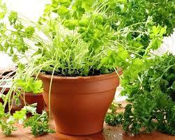 Herb Garden Winter - grow an herb garden indoors u2013 piccha
