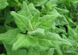 native plants new zealand warrigal greens aboriginal use of native plants
