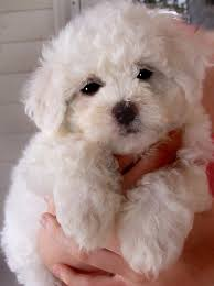 bichon frise whining 64 best i love bichons images on pinterest bichons animals