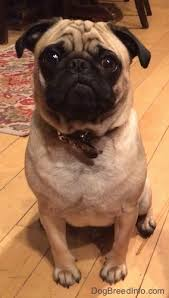 athens family s pug chases trio of armed home invaders