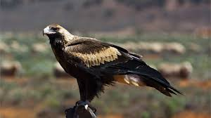 wedge tailed eagle national geographic