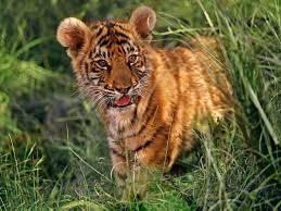 tiger species wwf