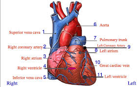 Gross Anatomy Of The Human Heart Cardiac Anatomy And Physiology Quiz At Best Anatomy Learn