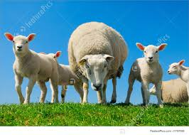 domestic animals curious lambs in spring stock picture i1797599
