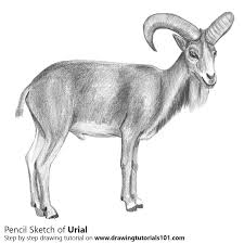 urial pencil drawing how to sketch urial using pencils