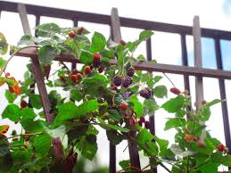 how to grow your own berries hgtv